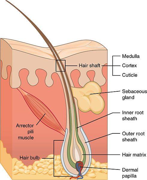 Laserontharing, definitief ontharen, risico's ontharen, ipl ontharen, bovenlip ontharen, oksel ontharing, bikinilijn ontharen